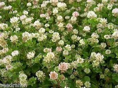 Seed Ranch Ball Clover Seed - Great for Honey Bees - 5 Lbs.