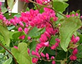 (RARE!!!!) Coral Vine - Queen Anns Wreath -- SO Beautiful!Growing to 25 feet!! (100 - Seeds)