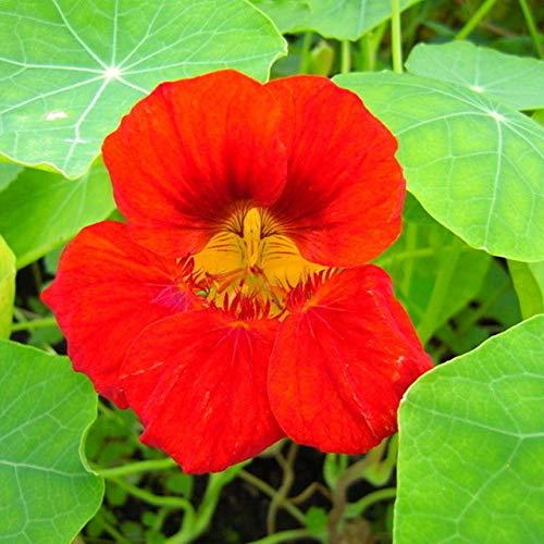 Go Garden 10 piezas Tropaeolum Majus Bonsai Nasturtium Bonsai Cuatro estaciones Plantar Bonsai en maceta con balcón para el jardín de su casa: 2