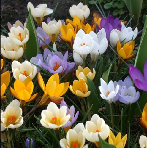 Plants4Less - Lot de 20 bulbes de crocus (mélange d'espèces)