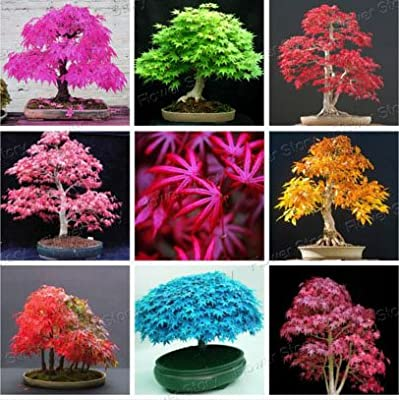 Rare Blue Maple Seeds Bonsai Tree Plants Pot Suit for DIY Home Garden Japanese Maple Seeds 20 Pcs