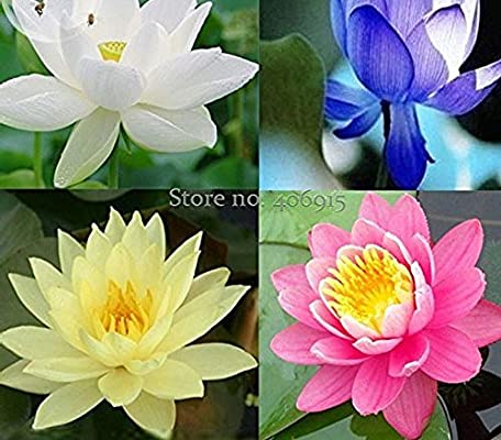 Amazoncom Seeds Market Rare 4 Mixed Species Of Lotus Flowers