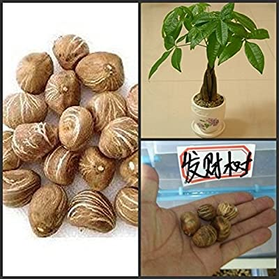 HOO PRODUCTS - 1 seeds/pack Braid pachira big money tree seeds bonsai tree seeds money tree seeds Hot Sale! : Garden & Outdoor
