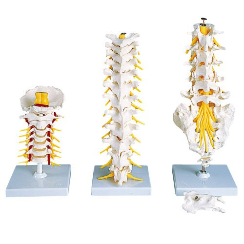 胸椎モデル(スタンド付)  A73 (32CM)【1台単位】(11-2045-07)   B01KDPJUMA