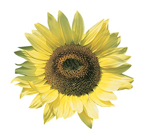 (Burpee Lemon Queen Organic Sunflower Seeds 50 seeds )