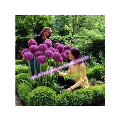 200 pcs Purple Giant Allium Giganteum Beautiful Flower Seeds Garden Plant Gift : Garden & Outdoor