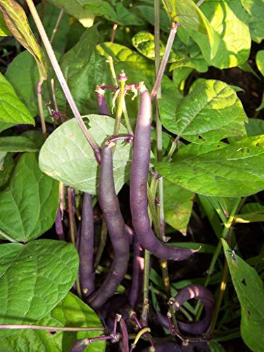 Vegetable Dwarf French Bean Purple Queen 200 Italian Seeds
