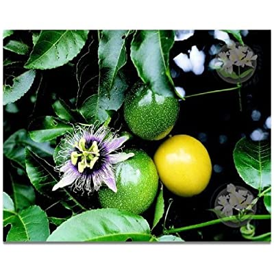 LILIKOI Hawaiian Passion Fruit Seeds - 1 Pack - : Fruit Plants : Garden & Outdoor