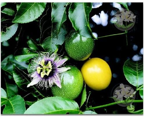 50 Yellow Passion Fruit Seeds From Hawaii Passiflora edulis f. flavicarpa