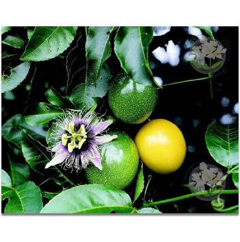 LILIKOI HAWAIIAN PASSION FRUIT SEEDS - 1 PACK (Hawaiian Passion Fruit)