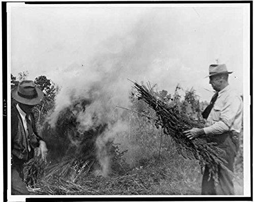 Photo: Marijuana Production,Garner,North Carolina,NC,1942,Men burning Marijuana,Field