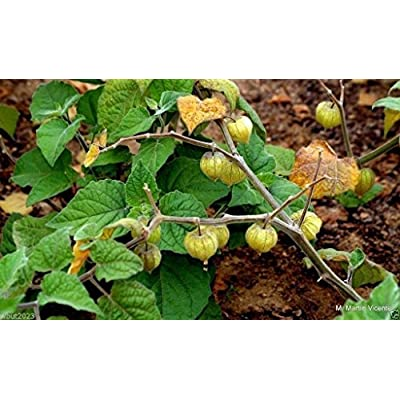 Cape Gooseberry, Giant Poha Berry, 100 SEEDS (Physalis Peruviana), Ground Cherry : Garden & Outdoor