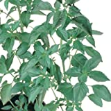 Basil Sweet Dani - Herb Seeds Package - Approx. 100 Seed Packet