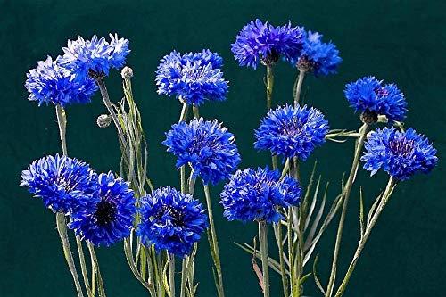 Dwarf Blue Cornflower/Bachelor Button Seeds - 1000 Seeds by -