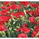 PlenTree Carnation Seeds 50 Carnation Grenadin Scarlet Seeds Nursery Seeds