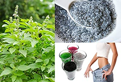 Organic (700 Seeds) Thai Lemon basil-Lao basil-hoary basil non GMO Vegetable Seeds