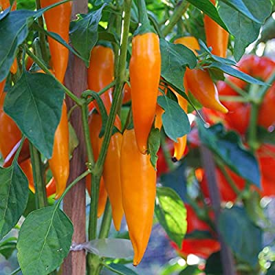 Cutdek Bulgarian Carrot Chile Pepper (Seeds) - Capsicum Annuum, AKA Shipkas (100 Seeds), Ready to Ship : Garden & Outdoor
