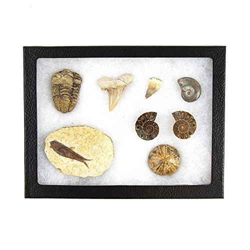 (Museum Quality Fossil Collection Kit Featuring Dinosaur Fossils, Ammonites, Trilobite, Shark Tooth, Urchin and Fish Fossil - Collectors Edition Paleontology Set)