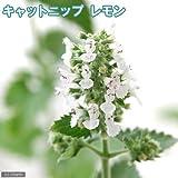 charm(チャーム) (観葉植物)ハーブ苗 猫草 キャットニップ レモン 3号(1ポット)