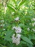 20 Seeds Wild Mint Seeds (Mentha Arvensis) A. K. A Field Mint, Wild Mint, Corn Mint