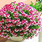 SS GARDEN Scented Geranium Hybride Plant Multi Colors - 1 Live Plant in Poly Bag|Healthy Live Plant|Rare Grafted Live Plant