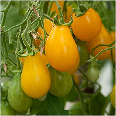 Package of 80 Seeds, Yellow Pear Tomato (Solanum lycopersicum) Non-GMO Seeds by Seed Needs