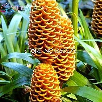Green Seeds Co. 100 unids orgánica colmena plantas de jengibre muy sabrosas nutritive brezo bonsai flor de la casa de bricolaje jardinería: negro