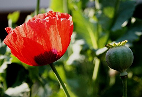 Gifts Delight Laminated 35x24 inches Poster: Poppy Flower Open Red Delicate Seedpod Sunlight Spring