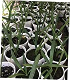 CKN 1 Pcs Bare Root 1 Year Sabal Major Palm Seedlings, Cabbage - 143EB