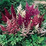 Outsidepride Astilbe Showstar - 200 Seeds