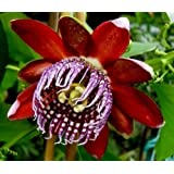 """HEIRLOOM NON GMO """"passiflora alata"""" Red Perfumed Passion Flower 5 seeds"""