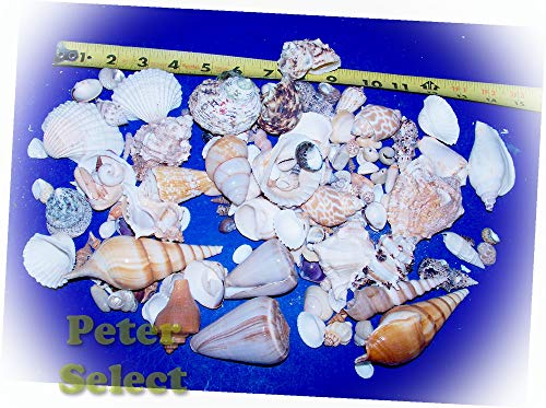 100+ Awesome Seashells Fishtank Reef Vole Conch Murex Item # 167T - for Wedding Decor, Home Decor and Craft Project
