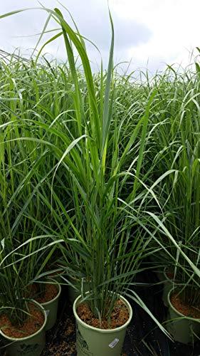 American Beauties Native Plants Panicum virgatum 'Thundercloud' (Switch) Grass, 2 - Size Container, Blue/Green ()