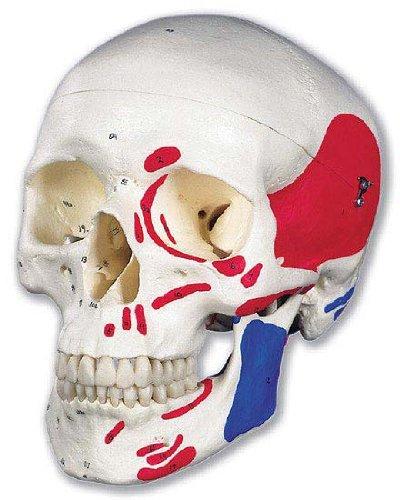 3B社 頭蓋骨模型 頭蓋筋番号表示付3分解モデル (a23) B003Z2S7BE