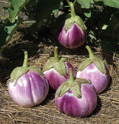 David's Garden Seeds Eggplant Rosa Bianca D2605 (Purple White) 50 Organic Heirloom Seeds