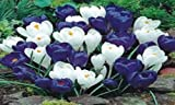 CROCUS, BULBS , BLUE MOON MIX, BLUE WHITE PERENNIAL CROCUS BULBS, BLUE WHITE CAPS by Country Creek Acres