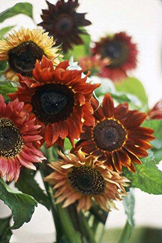 - Sunflower Seeds 20/Pack (Helianthus annus) Organic Non-GMO Home Garden Sunny Sun Flower Seeds Open Pollinated Seeds for Planting (Velvet Queen Sunflower)
