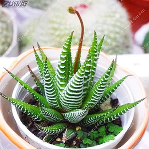 Seed 200 Pcs Japanese Mini Succulent Bonsai Easy Grow Ornamental Plants Hybridization Results Absorb Radiation