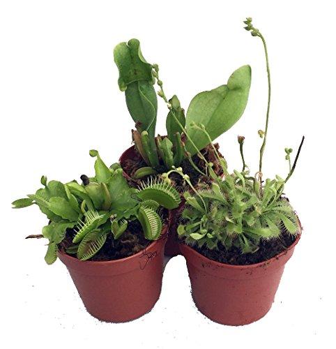 Carnivorous Terrarium Plants - Assortment of 3 Plants in 2