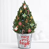 Christmas Celebrated Tree - eshopclub Same Day Christmas Flower Delivery - Online Christmas Flowers - Christmas Flowers Plants - Send Christmas Plants
