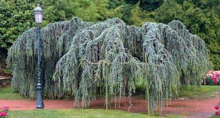 Weeping Blue Atlas Cedar 3 - Year Live Tree by Japanese Maples and Evergreens (Image #9)