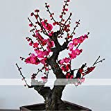 By Dubu 8 Seeds / Pack, Chinese Flower Wintersweet Seed Fragrant Red Chimonanthus Praecox for Bonsai