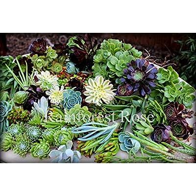 12 Succulent cuttings 12 Unique Varieties Cactus Succulent Plants Centerpiece : Garden & Outdoor