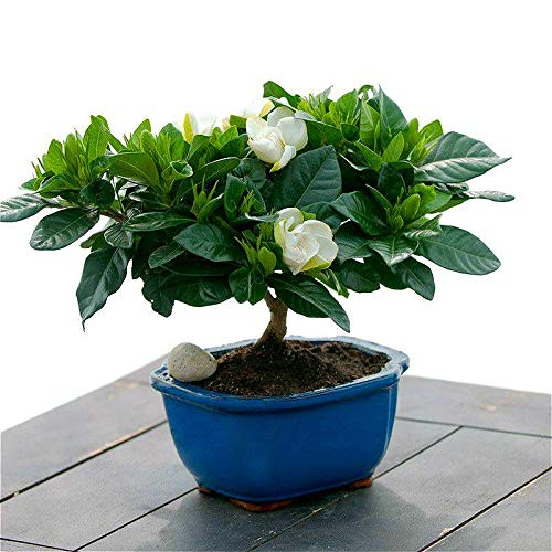 100 Pcs/lot Gardenia Plants Bonsai Tree Plants Cape Jasmine Beautiful Home Garden Potted Flowers Bonsai for Sale