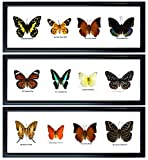 Set 3 x 4 Real Butterfly Display Taxidermy in Horizontal Frame for Collectible Gift