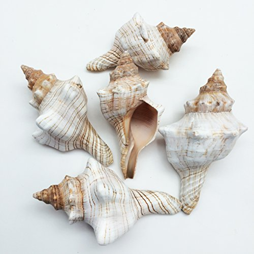 PEPPERLONELY 5PC Striped Fox Sea Shells, Horse Conchs, 2-1/2 Inch ~ 4 Inch
