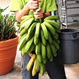 "Banana Plants""FHIA-01 Goldfinger"" Includes Four (4) Plants"