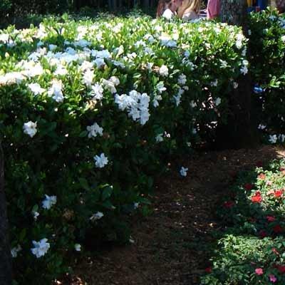 Amazon.com : Frost Proof Gardenia Shrub : Shrub Plants : Garden U0026 Outdoor