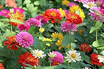 """d00b9551e9f3a Home Garden - Zinnia commun nain, """"Pepito"""" jeune et vieux - pour"""
