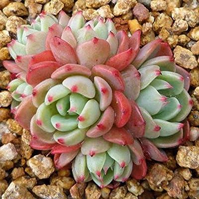 """One Echeveria Nanahukumini 2.5"""" Korean Rare Succulent Plant : Garden & Outdoor"""